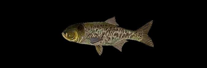 что за рыба толстолобик
